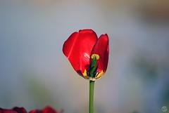 Cutaway (splinx1) Tags: pentaxart cutaway pentax pentaxk10d smcpentaxda145855300mm handheld tulip pistil stamen blur boke bokeh oofbg minimalist red yellow black green petal sepal tepal
