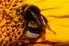 Bumble Bee On Sunflower (betadecay2000) Tags: biene hummel makro tier bumble nature natur insekt tiere insekten insects insect life yellow flower fleur blume blüte kleintier natuur gelb amber blüten bloem bloom hummeln niemcy fluginsekt sonnenblume sonnenblumen