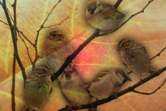 Six Sparrows (ihave3kids) Tags: flickr photoshop photomanipulation photoshopcontest photoshopcompetition digitalarts birds sparrows branches twigs leaf birchleaf tree texture