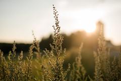 Die Stimmung der goldenen Stunde (Lars@Fotogenerell) Tags: blauestunde fotospaziergang goldenhour goldenestunde sigma sigmafotografie sonnenuntergang sonnenkinder sonnenblumen blumen flowers sunflower sunset sony alpha 7i sigma24–70mm2 8dgoshsmart art series