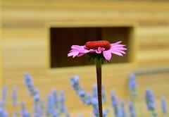 Echinacea (Coneflowers) (Jason Khoo Photography) Tags: bloom plant explore bokeh pistil ovary ovule stigma anther filament echinaceapurpurea garden gardenphotography nikkor flickr unlimitedphotos naturesbest nature naturephotography outdoorphotography digitalphotography amateurphotography photography dof nikon colour color stamen petals echinacea coneflower flowers