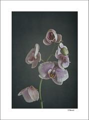 Orquidea (tmuriel67) Tags: texturas textures stilllife flowers flores orchild