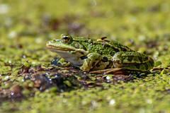 DSC_8680 (wwwYnand!) Tags: groen green frog nikon animal