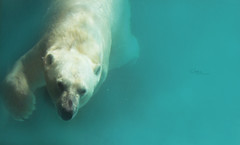Bath Time (Instants of life) Tags: polarbear bear ourspolaire ours ursusmaritimus zoodelaflèche animals