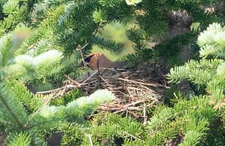 Cedar Waxwing on nest