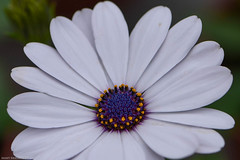 Coeur d'une Osteospermum Erato Blanc (Mamyarason) Tags: mamyramiarason printemps macro nikond750 tulipe saôneetloire autun osteospermumeratoblanc bourgognefranchecomté