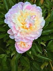 Peony (LJLJ83) Tags: peony flower big pink white yellow leaves summer 2018 nature pastel colours petals voluptuous fluffy