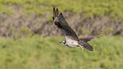 Balbuzard pêcheur, Iroquois, Ontario. (boisvertvert1) Tags: balbuzardpêcheur westernosprey osprey oiseauxdeproie oiseauxduquébec rapace michelboisvert 2018 canada ontario canon70d canon