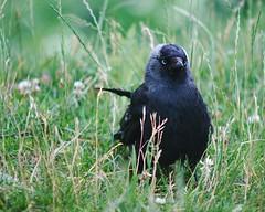 photo_0104 (strandtentje) Tags: bird nature peas food feeding beaks feathers water grass summer expressive birds swallows seagulls crows ducks