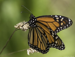 Monarch Butterfly (dhollender) Tags: blueheronfarm monarchdanausplexippus butterfly insect