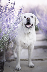 Sweet old lady. (lexlikelily) Tags: fetch dog lab nikon cute flowers purple