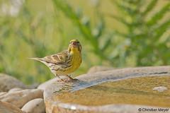 2018.05.24 - 1951 - Serin cini Bois Bas © (chmeyer51) Tags: oiseau serincini fringillidae serinusserinus