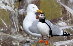 He's behind you! (robin denton) Tags: herringgull puffin fraterculaarctica innerfarne farneislands northumberlandcoast northumberland seabird nationaltrust nature wildlife larusargentatus bird auk