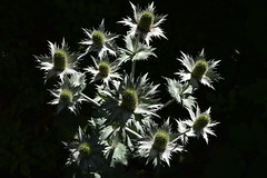Sea Holly in the Sun (Eddie C3) Tags: newyorkbotanicalgarden flowers eryngium janewatsonirwinperennialgarden