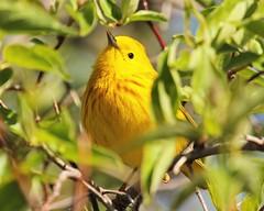 Plump and Happy (Jan Nagalski) Tags: warbler yellow streakedbreast yellowwarbler nature wildlife springmigration lakeerie mageemarsh ohio jannagalski jannagal