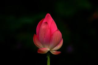 DSC_0122 Lotus Bud