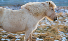 Icelandic horse braving the harsh elements...  #horse #iceland #outdoors #cold #winter #snow #grass #beauty #flickr #tough #profile #white #trip #travel #earth (PixelPainterPro) Tags: beauty profile iceland winter cold tough horse trip outdoors white snow grass flickr earth travel