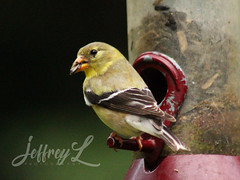 Dining Out (J_Dubb94) Tags: goldfinch birds feeder feeding wildlife outdoors feathers macro