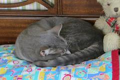 Millie Sleeping #3 12 July 2018 0183Ri 4x6 (edgarandron - Busy!) Tags: millie graytabby cat cats kitty kitties tabby tabbies cute feline