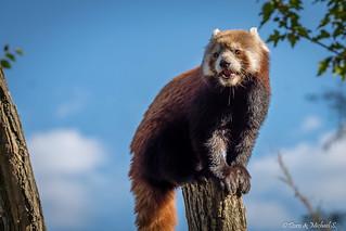 Roter Panda / Red panda