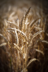Harvest time (judy dean) Tags: judydean 2018 harvest wheat ears seeds fieldofgold lensbaby