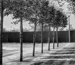 All in a row!🌳🌳🌳 (LeanneHall3 :-)) Tags: trees treetrunks branches leaves hullmarina kingstonuponhull blackandwhite mono landscape canon 1300d