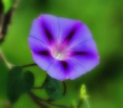 Ipomée (mamietherese1) Tags: morningglory persephones garden world100f earthmarvels50earthfaves