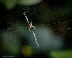 One hour with a macro (Helen C Photography) Tags: macro nikon 105mm adelaide southaustralia sa nature plants spider web pattern
