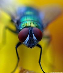 Green Fly, Yellow Flower (TomIrwinDigital) Tags: fly ontario bug eyes face