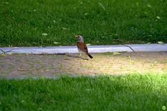 Fieldfare (petrOlly) Tags: europe europa slovensko slowakei slovakia słowacja sk2018 zvolen birds bird animals animal nature natura przyroda