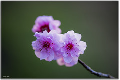 Cherry Blossoms (Bear Dale) Tags: first cherry blossoms from an early spring start ulladulla south coast new wales australia nikon d850 nikkor afs micro 105mm f28g ifed vr lake conjola dale flower pink bokeh dof green branch nature fotoworx beardale lakeconjola shoalhaven southcoast framed fleurs flores photo photograph groups group flickr