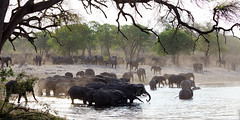 Elephants at watering place (www.holgersbilderwelt.de) Tags: nature beautiful light water travel landscape tree beach animal color art river wildlife plant wild outdoor botany africa amazing weather scenic season rural countryside traditional public perspective safari jungle attractive waterscape savanna nationalpark aperture elephant