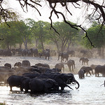 Elephants at watering place thumbnail