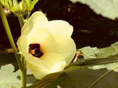 Okra Flower (kgpnative) Tags: beauty vegetableflower flower yellow nature floraandfauna flora