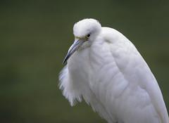 Little Blue Heron (Juv.) (JDA-Wildlife) Tags: birds nikon nikond7100 tamronsp150600mmf563divc jdawildlife johnny portrait closeup eyecontact heron heronlittleblue littleblueheron whatbirdbestofday composition gorgeous wow
