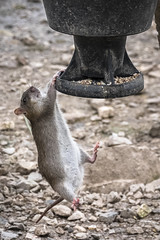 Give Me Strength!! ;-)) (Fourteenfoottiger) Tags: acrobatics rat birdfeed jump nature funny sweet climbing feeding food seeds rodent animal swing feeder eat