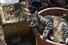 wide-eyed innocence (rootcrop54) Tags: camille female mackerel tabby cat planter catnip catmint outdoors neko macska kedi 猫 kočka kissa γάτα köttur kucing gatto 고양이 kaķis katė katt katze katzen kot кошка mačka gatos maček kitteh chat ネコ fauxbois