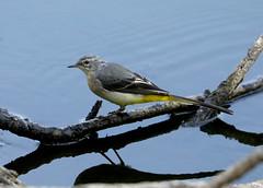 Grey Wagtail ---- Motacilla cinerea (creaturesnapper) Tags: maplelodge birds waterbirds wagtails greywagtail motacillacinerea uk europe