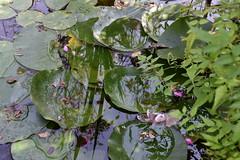 DSC_6111 (griecocathy) Tags: eau reflet nénuphar feuille fleurs rose roseau pétale lumineux vert rosée rosier bleutée