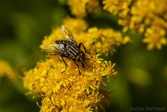(Joshua Harkness) Tags: macro bug fly flower polinator closeup