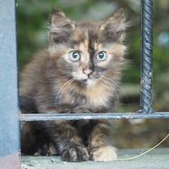 P7084220_cr (unHombre) Tags: worldcatday cat catkin kitten kedi yavru pet street katze animal haustier olympus omd em5 yavrukedi kediyavrusu kätzchen
