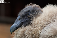 Andean Condor (Mike House Photography) Tags: bird prey falcon eagle hawk talons beak wings flying flight fly yellow green brown white eyes sharp meat eater tail tips conservation wildlife animal photography