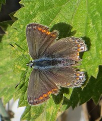 BLUE LADY (d p hughes) Tags: commonblue polyommatusicarus butterflies bugs insects wildlife nature outdoor colour macro crewe cheshire