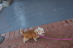 20180818-DSCF2731 (PM Clark) Tags: long coat chihuahua pure bred