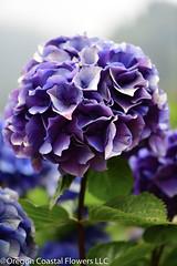 antique Oregon pride purple hydrangea (Oregon Coastal Flowers) Tags: aging purple hydrangea antique