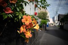 花 (fumi*23) Tags: ilce7rm3 sony flower street alley plant 24mm samyangaf24mmf28fe a7r3 emount campsisgrandiflora bokeh dof miyazaki 花 植物 ノウゼンカズラ 宮崎 サムヤン ソニー