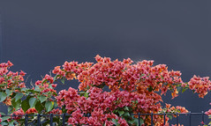 bougainvillea (Bev-lyn) Tags: bougainvillea plant flowers red blue outdoors