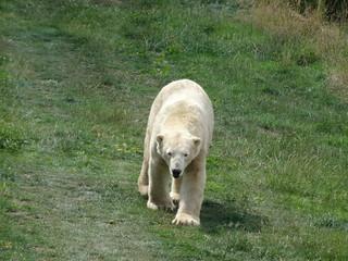 Polar bear heading my way
