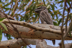 Tawny frogmouth ( podargus strigoides ) (Malcom Lang) Tags: tawny frogmouth tawnyfrogmouth podargus strigoides bird owl native leaves tree branch claw wing beak sky animal woodland sugargum gum sugar southaustralia southern south southernaustralia southerneyrepeninsula eyrepeninsula eyre lowereyrepenninsula australia australian aussie canoneos6d canonef100400