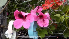 Pelargonium cuttings (Deep pink) on balcony (From outside) 30th July 2018 (D@viD_2.011) Tags: pelargonium cuttings deep pink balcony from outside 30th july 2018